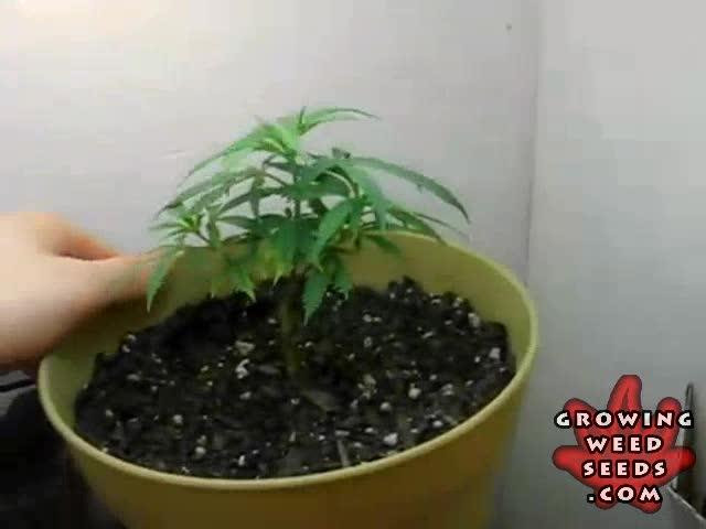 Indoor Marijuana Growing ...