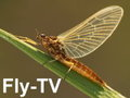 Flyfishing-TV