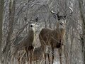 March Whitetails