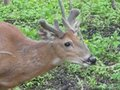 May Whitetails