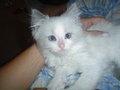 Flip the Ragdoll Kitten