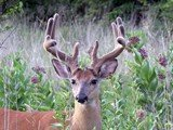 August Whitetails