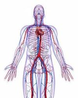 Der Körper des Menschen