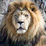 Lion Vids